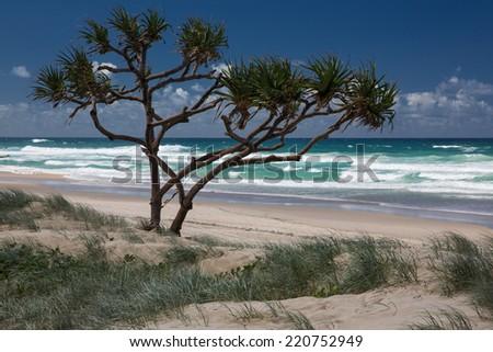 Lonely tree on the wild beach on the Gold Coast, Australia - stock photo