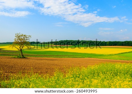 Lonely tree on yellow rapeseed flower field and blue sky, Burgenland, southern Austria - stock photo