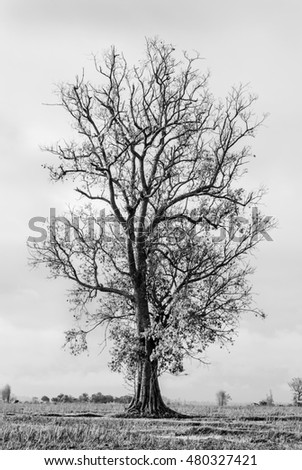 Lonely tree stand in the dry rice field in black and white landscape photography