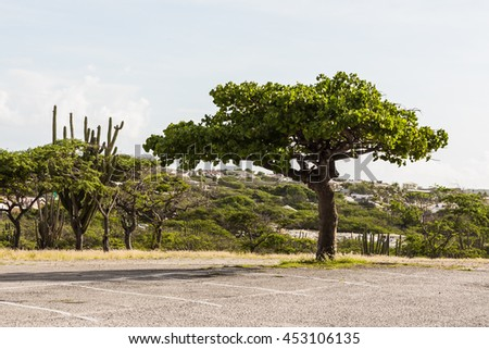 lonely tree with unusual shapes, as the symbol of the island of Aruba
