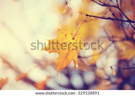Lonely yellow-gold maple leaf on a branch late fall. - stock photo