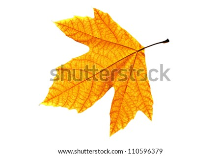 Lonely yellow leaf of a plane tree, isolated on a white background. - stock photo