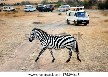 Lonely zebra crossing the dirt road against safari cars in Masai Mara at sunset, Kenya  - stock photo