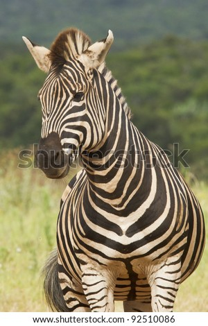Lonely Zebra standing and looking out over a grassland