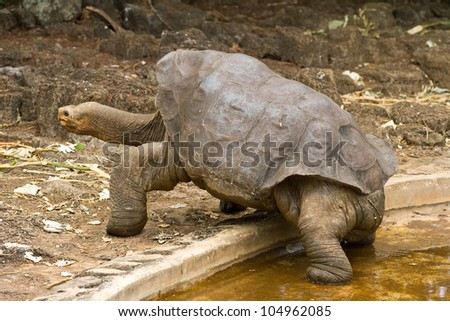 Lonesome George, a famous giant Galapagos tortoise. - stock photo