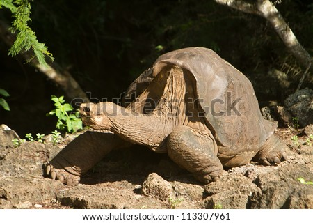 Lonesome George, taken a few days before his death - stock photo