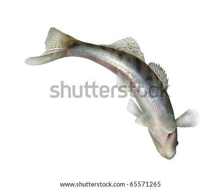 long alive zander on white background