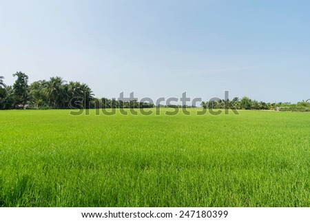 LONG AN, VIETNAM - JANUARY 25, 2015 :Green rice fields and sky in a rural province of Long An, Vietnam. - stock photo