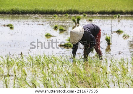 LONG AN, VIETNAM- : Vietnamese farmer sow rice on paddy field, they transplant rice seeding on muddy plantation of agricultural country, Viet Nam, August 17, 2014 - stock photo