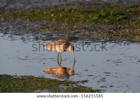 Long-billed Curlew - stock photo