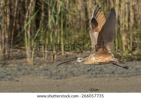 Long-billed curlew (Numenius americanus) flying over beach, Galveston, Texas, USA. - stock photo
