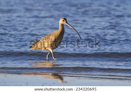 Long-billed curlew (Numenius americanus) foraging in shallow water, Galveston, Texas, USA. - stock photo