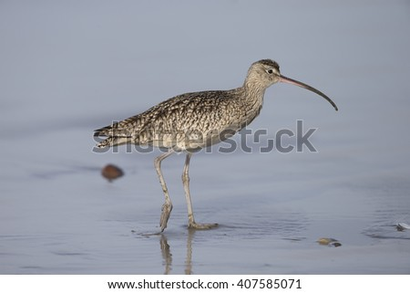 Long-billed Curlew on Morro Beach California