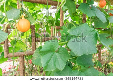 Long bottle gourd or winter melon - stock photo