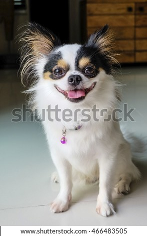 Long coat chihuahua dog black eyes