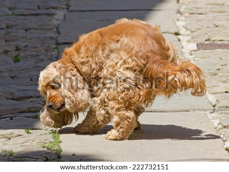 Long Curly Red Haired Cocker Spaniel Dog Pointing a Grasshopper - stock photo