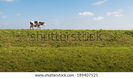 Long Dutch dike on a sunny day in springtime and a black and white spotted cow  walking on it. - stock photo