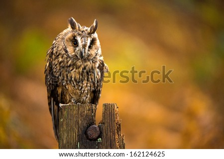 Long Eared Owl against a background of burnt orange autumn bracken/Long Eared Owl/Long Eared Owl - stock photo