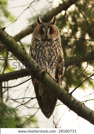 long-eared owl / Asio otus / ciuf de padure