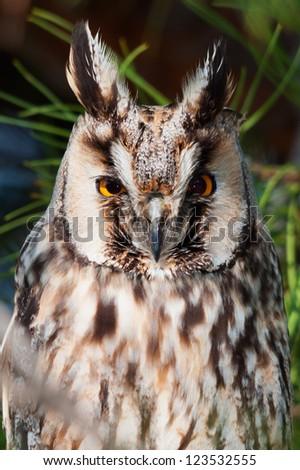 Long-eared owl (Asio otus) head closeup. - stock photo