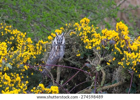 Long eared Owl (Asio otus) perched amongst flowering gorse and bramble - stock photo