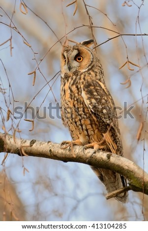 Long-eared Owl - Asio otus sitting on the branch - stock photo