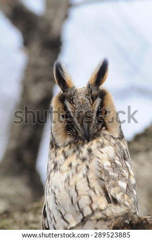 Long-eared Owl at the birch-tree - stock photo