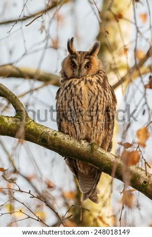 Long eared owl in autumn. - stock photo