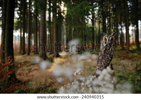 Long-eared Owl in habitat - coniferous forest wit big tree, wide angle lens photo - stock photo
