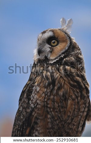 Long eared owl in meadow with blue sky of Colorado - stock photo
