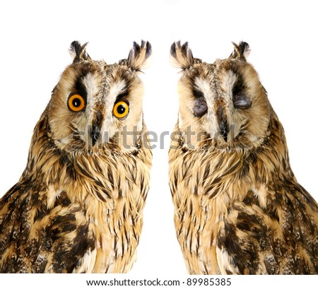 Long-eared Owl isolated on the white background - stock photo