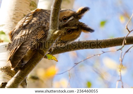 Long-eared owl looking surprised from above in a tree with a blue sky. - stock photo