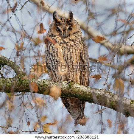Long eared owl perched on a twig in autumn colors