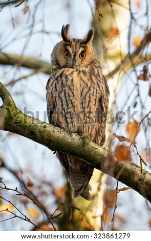 Long eared owl perched on a twig in autumn colors - stock photo