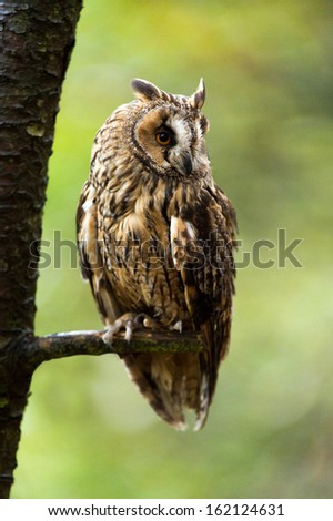 Long Eared Owl perched on the branch of a tree/Long Eared Owl/Long Eared Owl