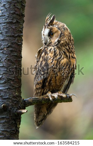 Long Eared Owl perched on the branch of a tree/Long Eared Owl/Long Eared Owl - stock photo