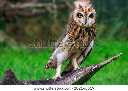 Long-eared Owl portrait - stock photo
