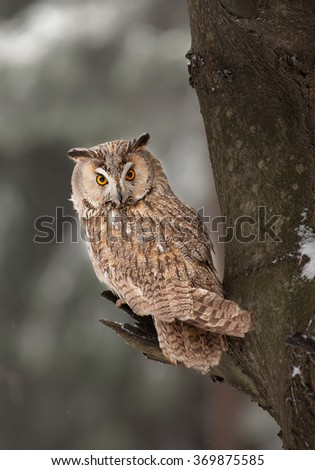 Long-eared owl sitting on the branch with clean background, Czech republic - stock photo