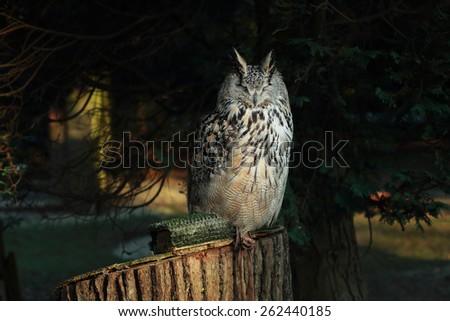 Long-eared Owl sleeping under the tree - stock photo