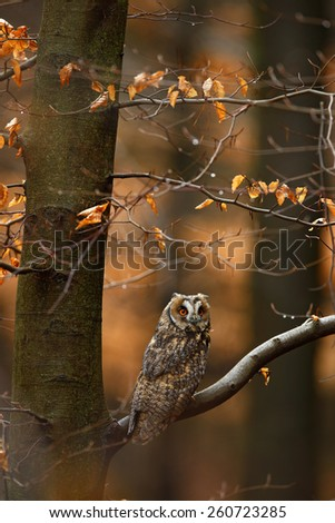 Long-eared Owl with orange oak leaves during autumn, bird in habitat - stock photo