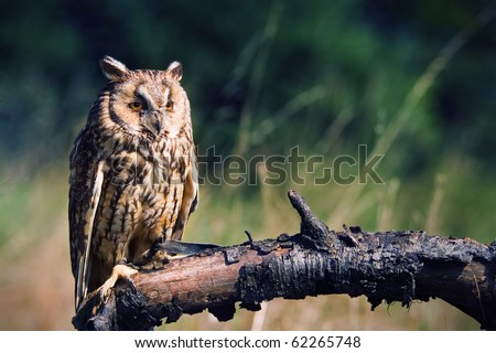 long-eared owl witting on branch - stock photo