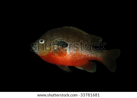 Long-Eared Sunfish (Lepomis megalotis) isolated on black