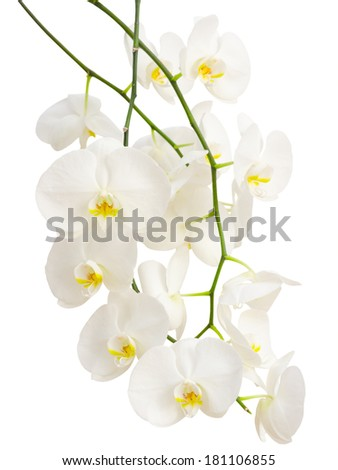 Long elegant branches of white romantic orchid flowers isolated - stock photo