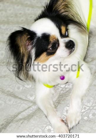 Long hair chihuahua - stock photo