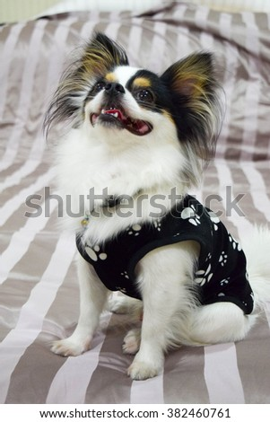 Long hair chihuahua dog black eyes