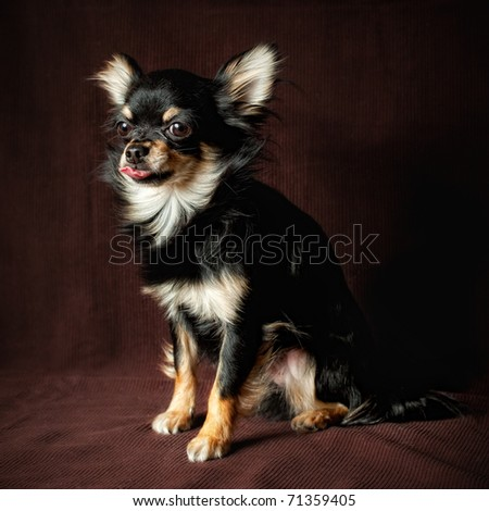 Long-hair Chihuahua dog close up on dark brown background