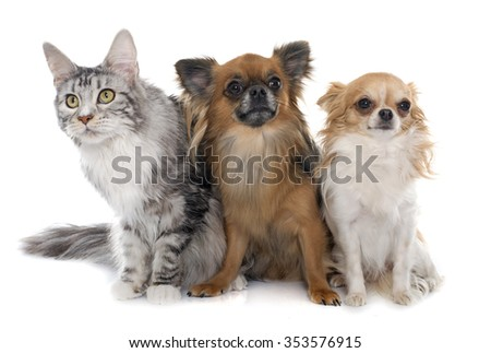 long hair chihuahuas and maine coon in front of white background