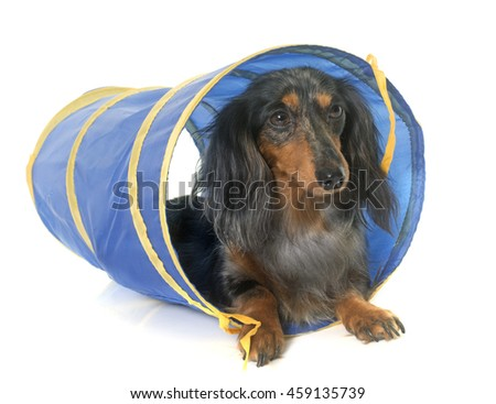 long hair dachshund in agility in front of white background - stock photo