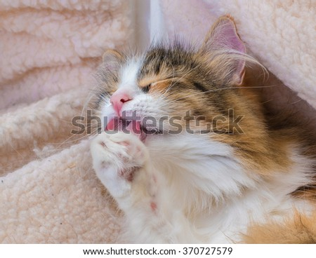 Long Hair tortoiseshell cat washing its paw - stock photo