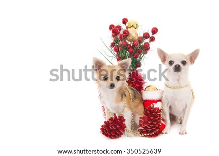 Long haired and short haired Chihuahua dogs with Christmas decorations, isolated on white - stock photo